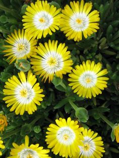 Delosperma cooperi 'Jewel of Desert Peridot' - wow, an amazing shot of color! Creates a low growing mat perfect for hot, dry areas.