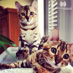 """From @alexa_coman: """"Meet my 5 month old Bengal kittens, Marley & Piper (@mylittlepiper). They love snuggling together and playing in boxes. The Purrfect sisters!!"""" #catsofinstagram [catsofinstagram.com]"""