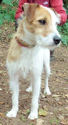 Santa – 1-4 year old female Parsons Jack Russell Terrier dog for adoption at Animal Helpline Dog Rescue Peterborough