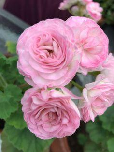 Amazing Flowers, Love Flowers, Beautiful Roses, Geranium Plant, Geranium Flower, Geraniums Garden, Lavender Garden, Cacti And Succulents, Flower Beds