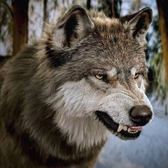 Snarling Wolf, Wolf Howling, Wolf Photos, Wolf Pictures, Beautiful Wolves, Animals Beautiful, Wolf Hybrid, Angry Wolf, Wolf Artwork