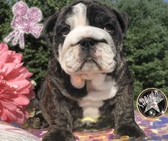 Miniature English Bulldogs and French Bulldogs Available For Sale Blue English Bulldogs, Blue Bulldog, Baby Bulldogs, French Bulldog Blue, French Bulldogs, Bulldog Puppies For Sale, English Bulldog Puppies, Black Lab Puppies, Corgi Puppies