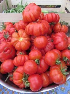 50+ Costoluto Fiorentino Tomato Seeds- Italian Heirloom Variety Ohio Heirloom Seeds