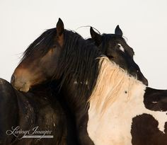 Wild Stallions Grooming  Fine Art Wild Horse Photograph by Carol Walker www.LivingImagesCJW.com
