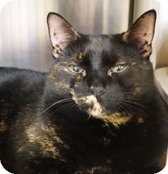 Blackwood, NJ - Domestic Shorthair. Meet Brindle, a cat for adoption. http://www.adoptapet.com/pet/10319490-blackwood-new-jersey-cat