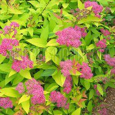 image de Spiraea japonica Goldflame