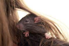 Las ratas han sido estigmatizadas durante siglos, la gente cree que son sucias, portadoras de enfermedades, desagradables y agresivas. Pero hoy les daremos el lugar que merecen. Ya es hora de que sean tratadas con respeto y dignidad. 1. Cuando están felices hacen un hermoso sonido parecido a una risa. 2. Son animales extremadamente limpios, …