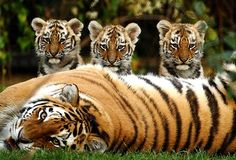 Three 11-week-old Siberian tiger cubs--Sayan, Altai, and Altay--are seen with their mother, Nika, at Howletts Wild Animal Park in Bekesbourne, England. The cubs are named after mountain ranges in Siberia.