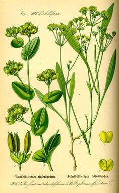 Flora von Deutschland Österreich und der Schweiz (1885) - Bupleurum rotundifolium