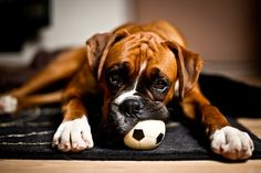 I just love Boxers! If you thinking about getting a dog, get a boxer. Boxer Breed, Boxer Bulldog, Boxer Puppies, Chihuahua Dogs, Chihuahuas, Boxer And Baby, Boxer Love, I Love Dogs, Cute Dogs
