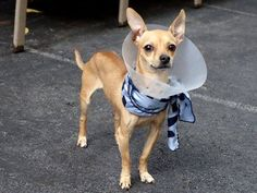"""Manhattan Center   NINO - A1009661  *** RETURNED ON 8/15/14 FOR """"PET HEALTH"""" *** EXPERIENCED HOME ***  NEUTERED MALE, TAN, CHIHUAHUA SH, 5 yrs RETURN - EVALUATE, HOLD FOR ID Reason PET HEALTH  Intake condition EXAM REQ Intake Date 08/15/2014, From NY 10034, DueOut Date 08/15/2014,   https://www.facebook.com/photo.php?fbid=859691244043756"""