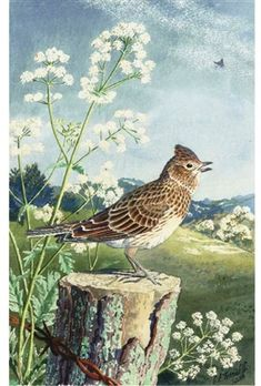 View A skylark by Charles Frederick Tunnicliffe on artnet. Browse upcoming and past auction lots by Charles Frederick Tunnicliffe. Wildlife Paintings, Wildlife Art, Animal Paintings, Ladybird Books, Nature Artists, Vintage Birds, Vintage Art, Bird Illustration, Bird Art