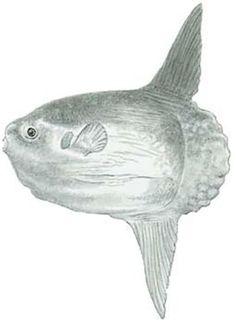 Fish Identification: Ocean Sunfish (Mola mola)