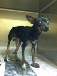 Minnie is an adoptable Chihuahua Dog in Pikeville, KY. Adoption fee is $50! This fee covers spay/ neuter ,first set of shots, first de-worming, Pike County dog tag and a bag of food.The shelter is ope...