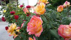 Rose meravigliose  piemontesi