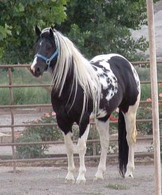 Beautiful Paint/Pinto Horse