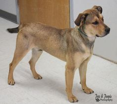 Woody is an adoptable Shepherd searching for a forever family near Yukon, OK. Use Petfinder to find adoptable pets in your area.