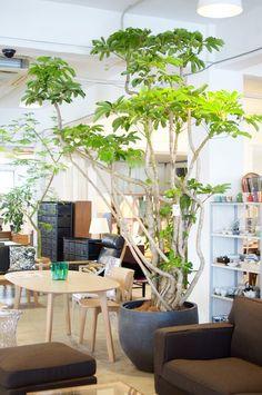 インドアグリーン入荷のお知らせ(大きめ) | HADANA 葉棚の葉っぱのはなしはじめます。 Big Indoor Plants, Indoor Trees, Indoor Plant Pots, Cool Plants, Green Plants, Indoor Garden, House Plants Decor, Plant Decor, Earthy Home Decor