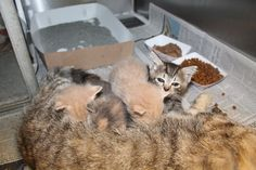 K. MICHELLE & 5 KITTENS - URGENT -MUST FIND PICKUP BY 8P.M. 8/27/14. K. Michelle (A23590407) is a 2 year old tabby mama cat who was surrendered by her owners because they claimed they had too many animals. Despite being abandoned at the scary shelter with her precious 3-4 week old kittens, K. Michelle remains to be a sweet and loving gal.Philly ACCT shelter. Needs immediate adoption, rescue or foster.  (267)-385-3800/email lifesaving@acctphilly.org 111 W Hunting Park Ave www.acctphilly.org