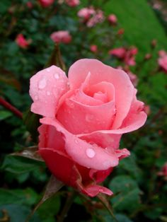 Beautiful Roses, Beautiful Flowers, Hybrid Tea Roses, Perfectly Imperfect, Rose Buds, Irene, Flower Power, Feelings, Amazing