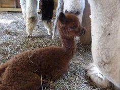 Tempest - adorable cria born in August