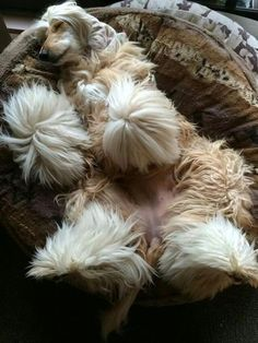 Sleeping time followed by Brushing time followed by Running time.  Repeat. Happy Animals, Animals And Pets, Cute Animals, Doggies, Pet Dogs, Dogs And Puppies, Beautiful Dogs, Animals Beautiful, Photo Animaliere