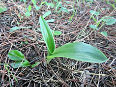 planta joven de orquídea. Antequera (MA)