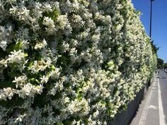 Muro di fiori. Borgio Verezzi (SV)