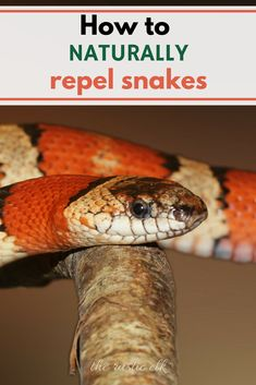 Snakes can be a creepy, scary existence on your homestead, but you can repel them completely naturally with these tips!