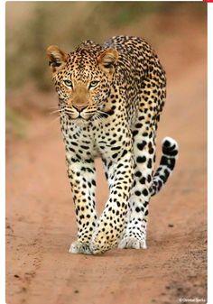 Beautiful leopard walking down the road.
