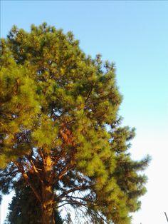 Pine Tree, in the Boa Vista Ward, LDS Chapel