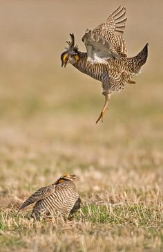 http://greglasley.com/images/GR/Greater-Prairie-Chicken-0094.jpg