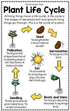 Life Cycle Anchor Chart - Plant Life Cycle worksheets Science Posters and Anchor Charts Primary Science, Kindergarten Science, Elementary Science, Science Classroom, Teaching Science, Science For Kids, Learn Science, 4th Grade Science Lessons, Science Lesson Plans