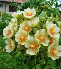 A ora-pro-nobis é uma trepadeira ou arbusto lenhoso e tropical, de qualidades como comestível e ornamental. O nome curioso vem no latim
