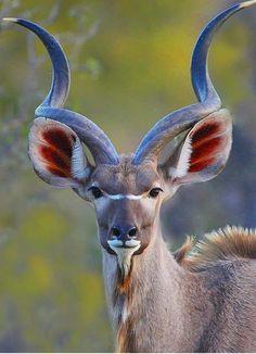 Nature animals - Beautiful Kudu Bull (similar to an Impala or an Antelope) Nature Animals, Animals And Pets, Baby Animals, Funny Animals, Cute Animals, Bizarre Animals, Exotic Animals, Unique Animals, Colorful Animals