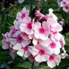 Høstfloks 'Bright Eyes' - Stauder - Plantetorvet.dk Bright Eyes, Rose, Flowers, Plants, Pink, Sparkling Eyes, Roses, Flora, Royal Icing Flowers