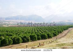 Orange groves among the foothills, Sierra Nevada Range, California