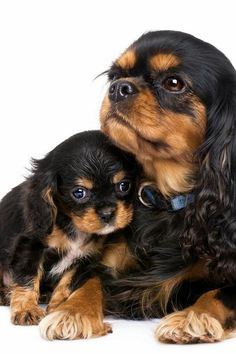 A Cavalier King Charles Spaniel. The mom look like the dog I had as a child. Still miss her!