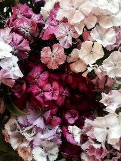 scalloped pinks