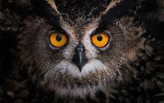 Download wallpapers owl, big eyes, forest bird, portrait, birds