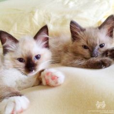 From @ltulip27: Were ready to get tucked in! 4 month old Ragdolls Ollie and Izzy. #catsofinstagram [source: http://ift.tt/21MYhR2 ]