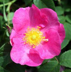 roseidar: Rosa Gallica - verdens eldste kultuverte rose familie