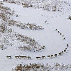Toi le loup