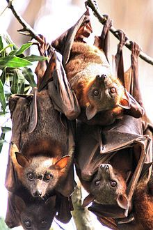The Wikipedia article of the day for October 2019 is Megabat . The megabat family, Pteropodidae, includes the largest bat species, some weighing … Nature Animals, Animals And Pets, Baby Animals, Cute Animals, Strange Animals, Amazing Animals, Animals Beautiful, Megabat, Bat Species