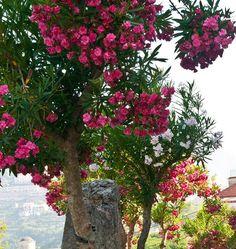Bliss of oleander - Ravello