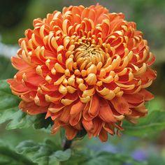 Chrysanthemum 'Astro Dark'                                                                                                                                                                                 More