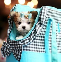 Mixed Breeds: Papillon + Maltese puppy What fun to have a puppy in a puppy purse! All dressed up to match no less!