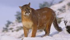 Image result for mountain lion