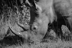 Question: Black or white Rhino? Hippopotamus, Horses, This Or That Questions, Animals, Black, Animales, Animaux, Black People, Horse