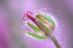 Geranium Maderense (Madeiran Cranesbill) by dmpop, via Flickr